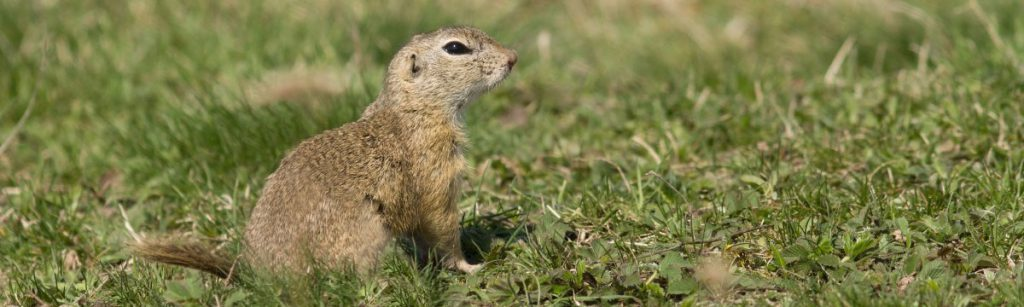 Gopher in a spring meadow